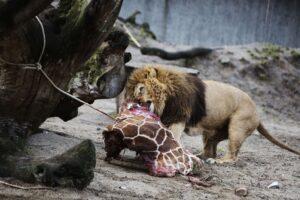 лев есть жирафа